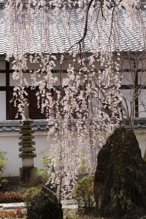 桜 2014 京都<本満寺>                   _f0021869_23162692.jpg