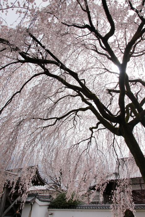 桜 2014 京都<本満寺>                   _f0021869_23164524.jpg