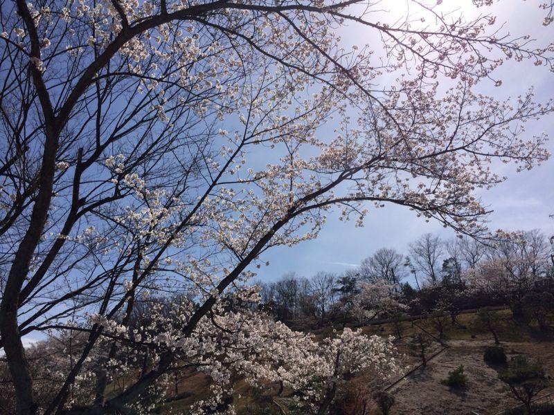 桜🌸4_e0233674_18222616.jpg