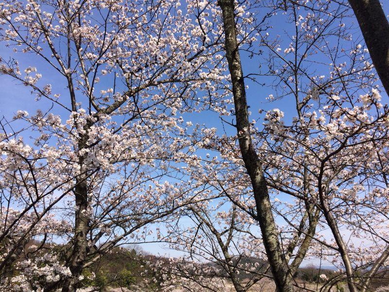 桜🌸4_e0233674_18223390.jpg