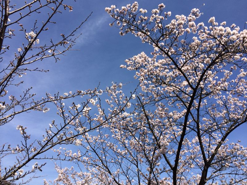 桜🌸4_e0233674_18224561.jpg