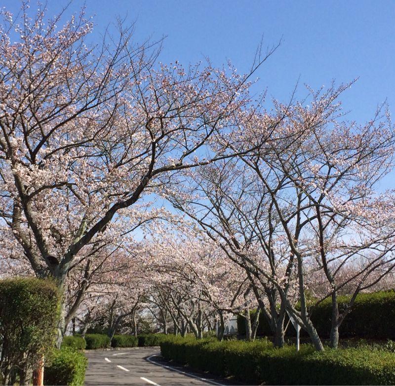 桜🌸4_e0233674_18231279.jpg