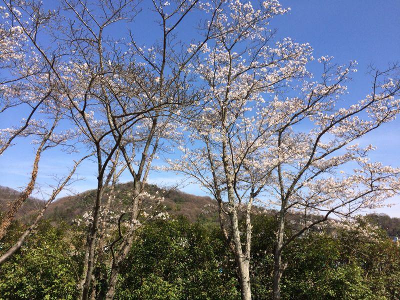 桜🌸4_e0233674_18232247.jpg