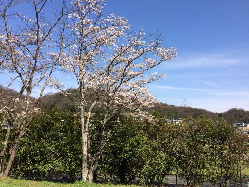 桜🌸4_e0233674_1823542.jpg