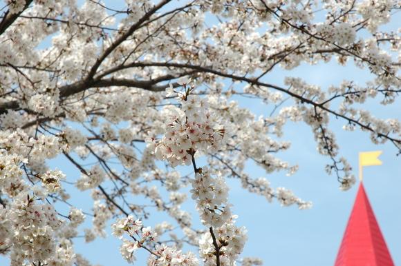 桜満開❀_c0222486_15381366.jpg