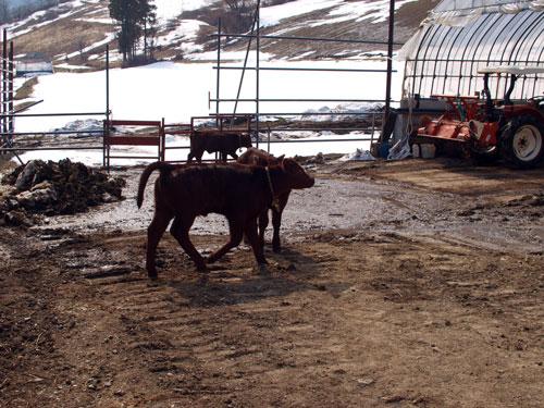 バッケ、フクジュソウ、子牛の元気。_f0236291_11443517.jpg