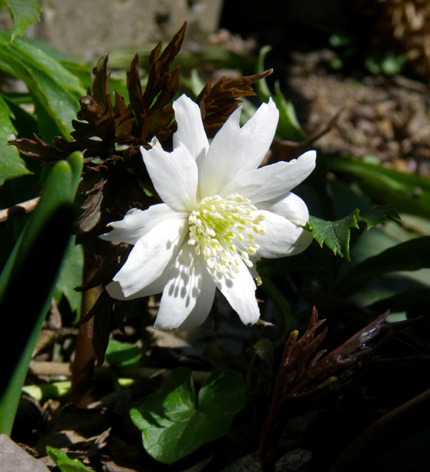 早春のリンゴ畑。庭の花など♪_a0136293_1614438.jpg