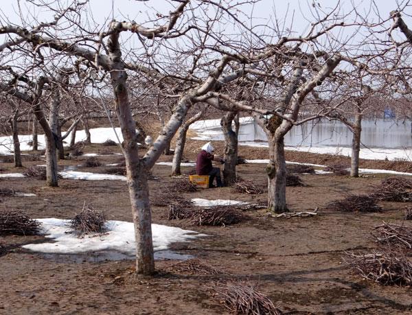 早春のリンゴ畑。庭の花など♪_a0136293_16191353.jpg