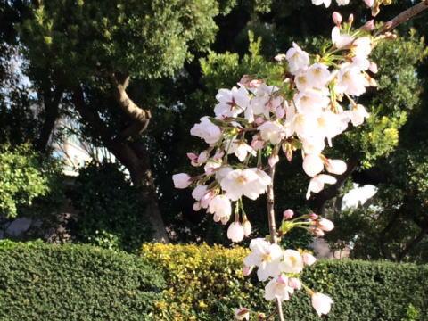 2014年の桜(5)_b0129897_10355415.jpg