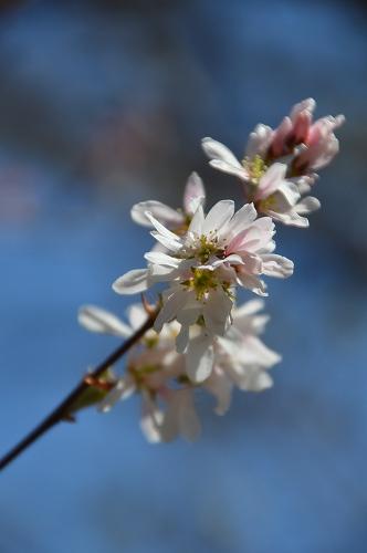 ジュンベリーの花 など_c0124100_21552920.jpg