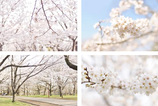 お花見弁当と、さくら散歩。_d0174704_141227.jpg