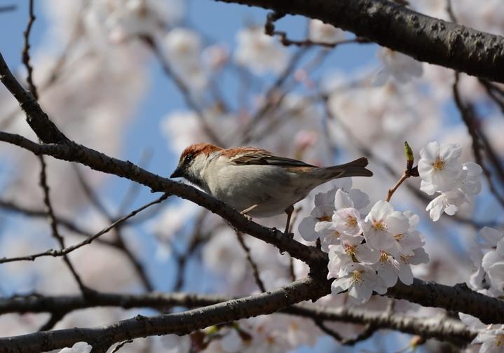 桜ニュウナイ_b0137208_21343138.jpg