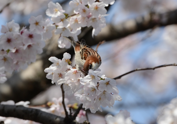桜ニュウナイ_b0137208_21344841.jpg