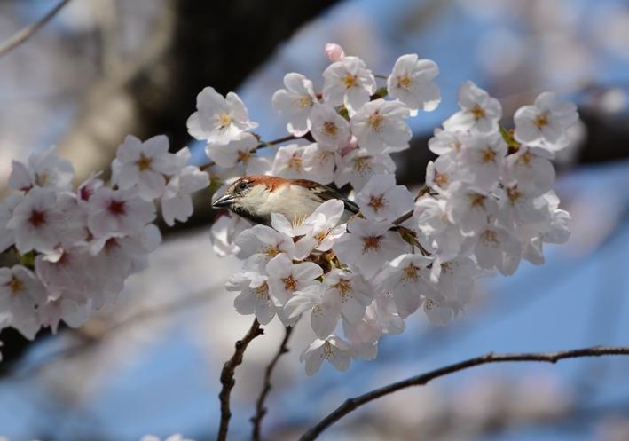 桜ニュウナイ_b0137208_2134597.jpg