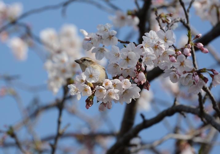 桜ニュウナイ_b0137208_21352580.jpg
