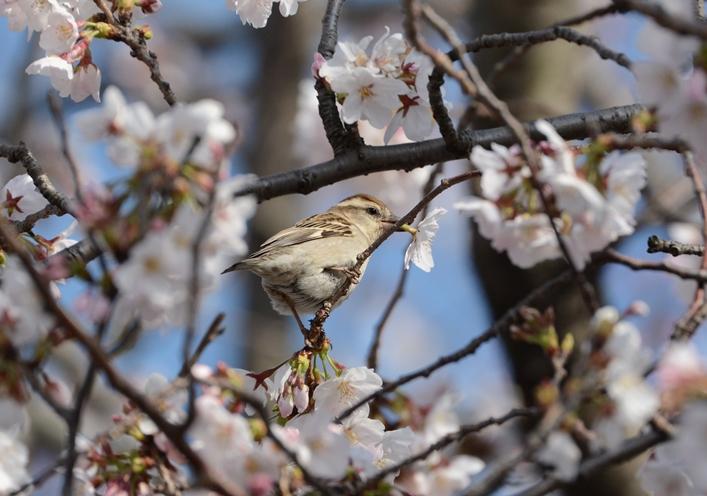 桜ニュウナイ_b0137208_21353155.jpg