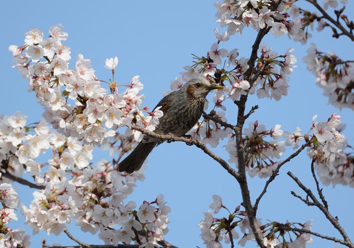 桜ニュウナイ_b0137208_21353736.jpg