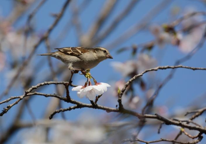 桜ニュウナイ_b0137208_2135957.jpg