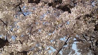 桜満開_e0101312_23315555.jpg