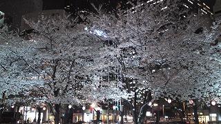 桜満開_e0101312_23321160.jpg