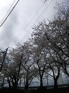 桜 2  梅﨑_e0149215_11512385.jpg