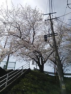 桜 2  梅﨑_e0149215_11533171.jpg