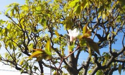 桜 2  梅﨑_e0149215_1155959.jpg