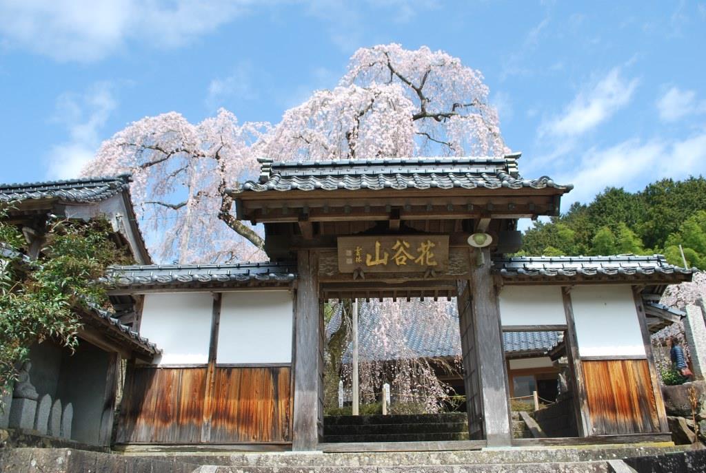 枝垂桜と分蜂騒ぎ_f0176521_22204815.jpg