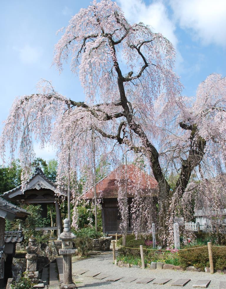 枝垂桜と分蜂騒ぎ_f0176521_2221678.jpg