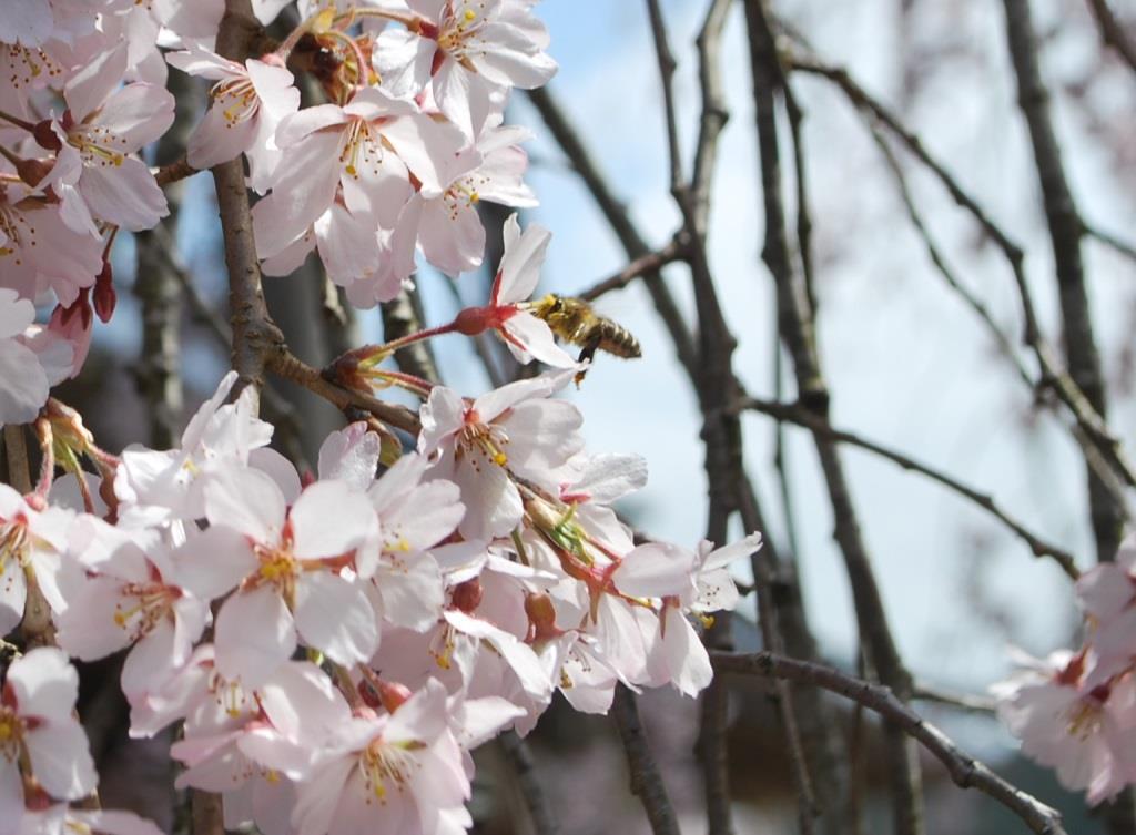 枝垂桜と分蜂騒ぎ_f0176521_2241285.jpg