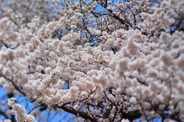 きょうの桜2_b0175635_23454140.jpg