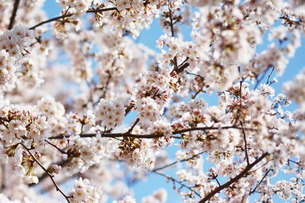 きょうの桜2_b0175635_23454493.jpg