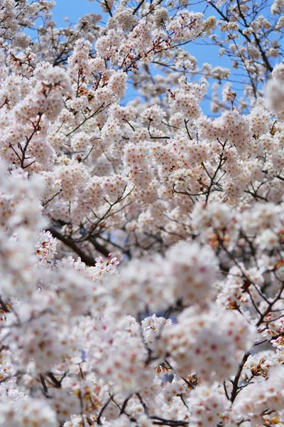きょうの桜2_b0175635_23454963.jpg