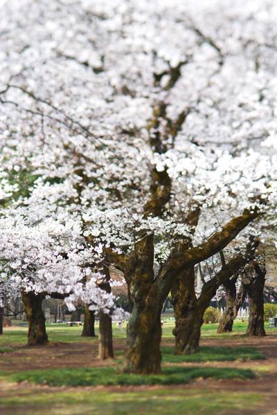 きょうの桜2_b0175635_23455293.jpg