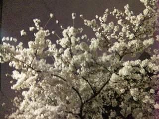 blog;春の夜桜_a0103940_17062024.jpg