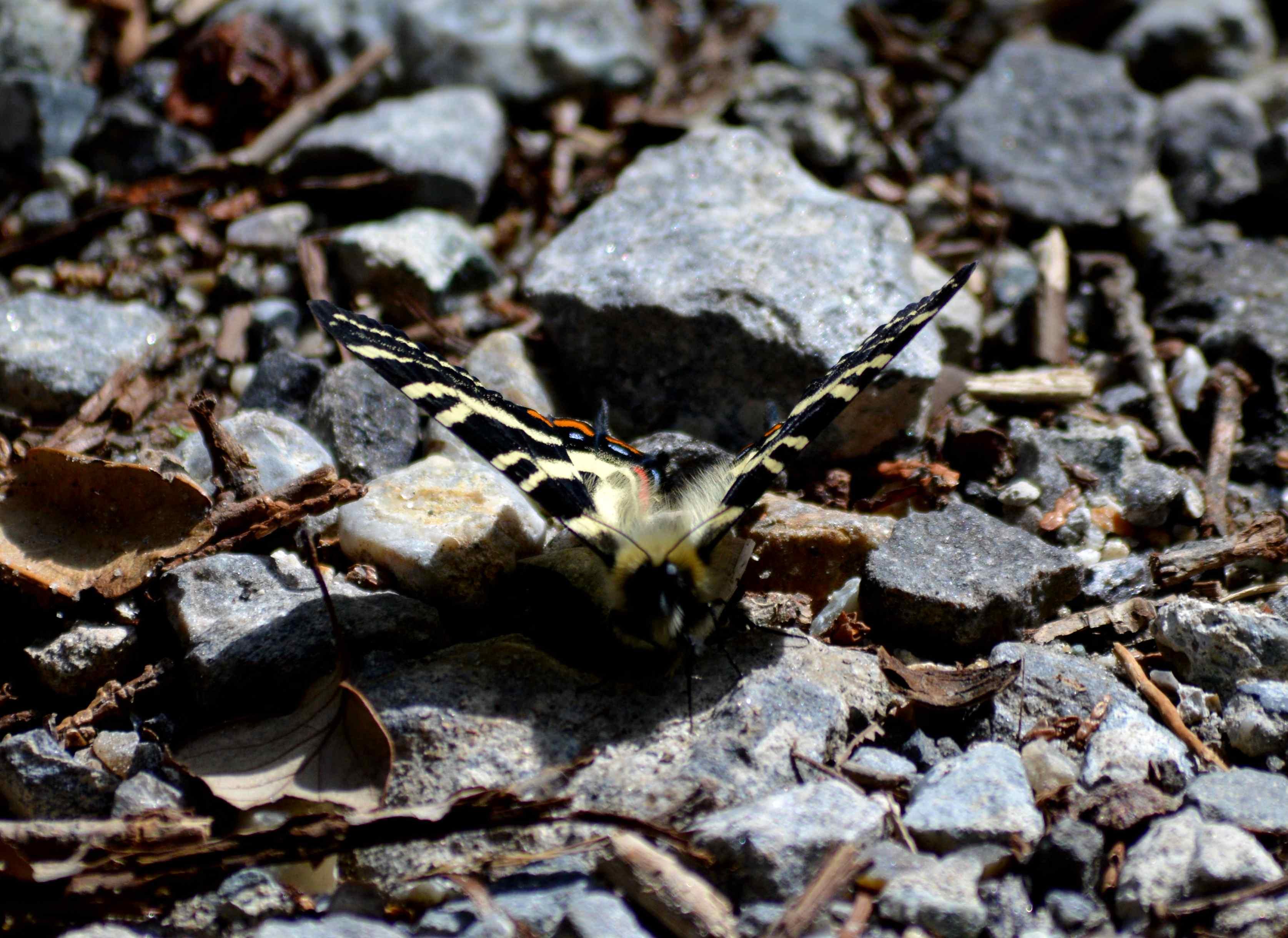 ギフチョウ 4月2日北山湿地にて_d0254540_1422052.jpg