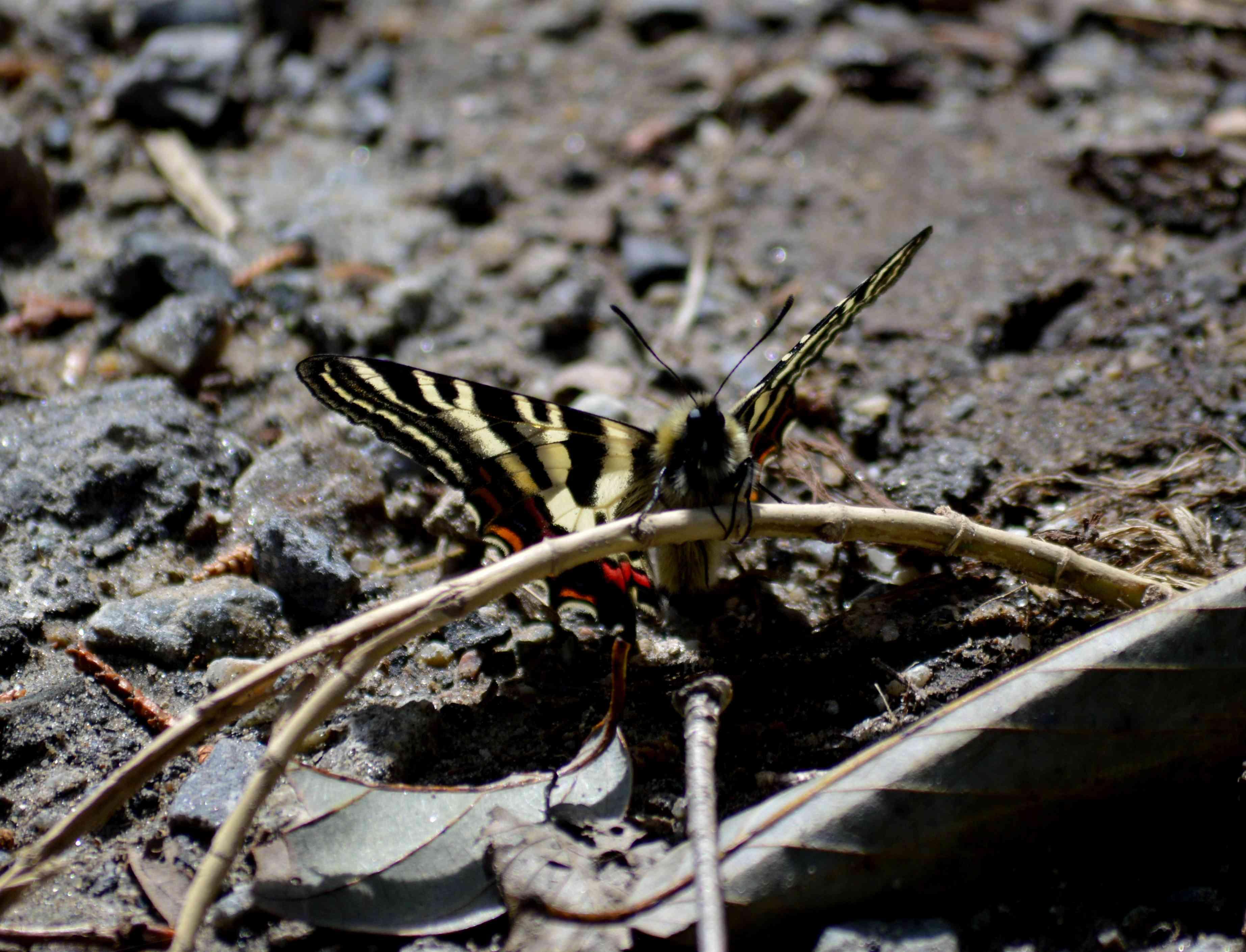 ギフチョウ 4月2日北山湿地にて_d0254540_1423396.jpg