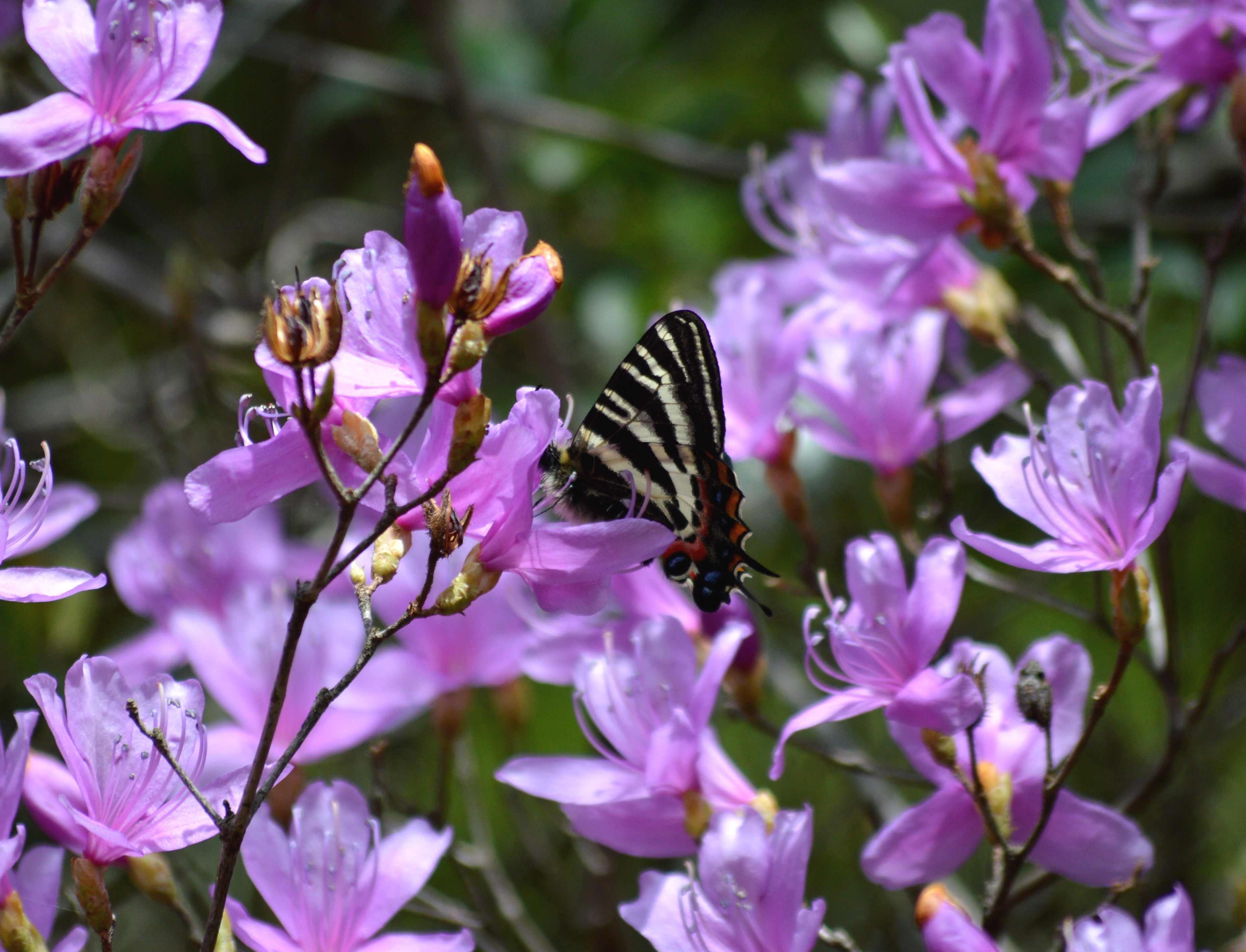 ギフチョウ 4月2日北山湿地にて_d0254540_1433826.jpg