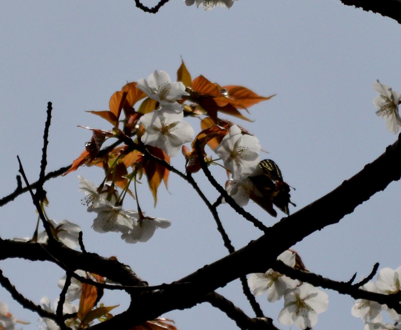 ギフチョウ 4月2日北山湿地にて_d0254540_1463618.jpg