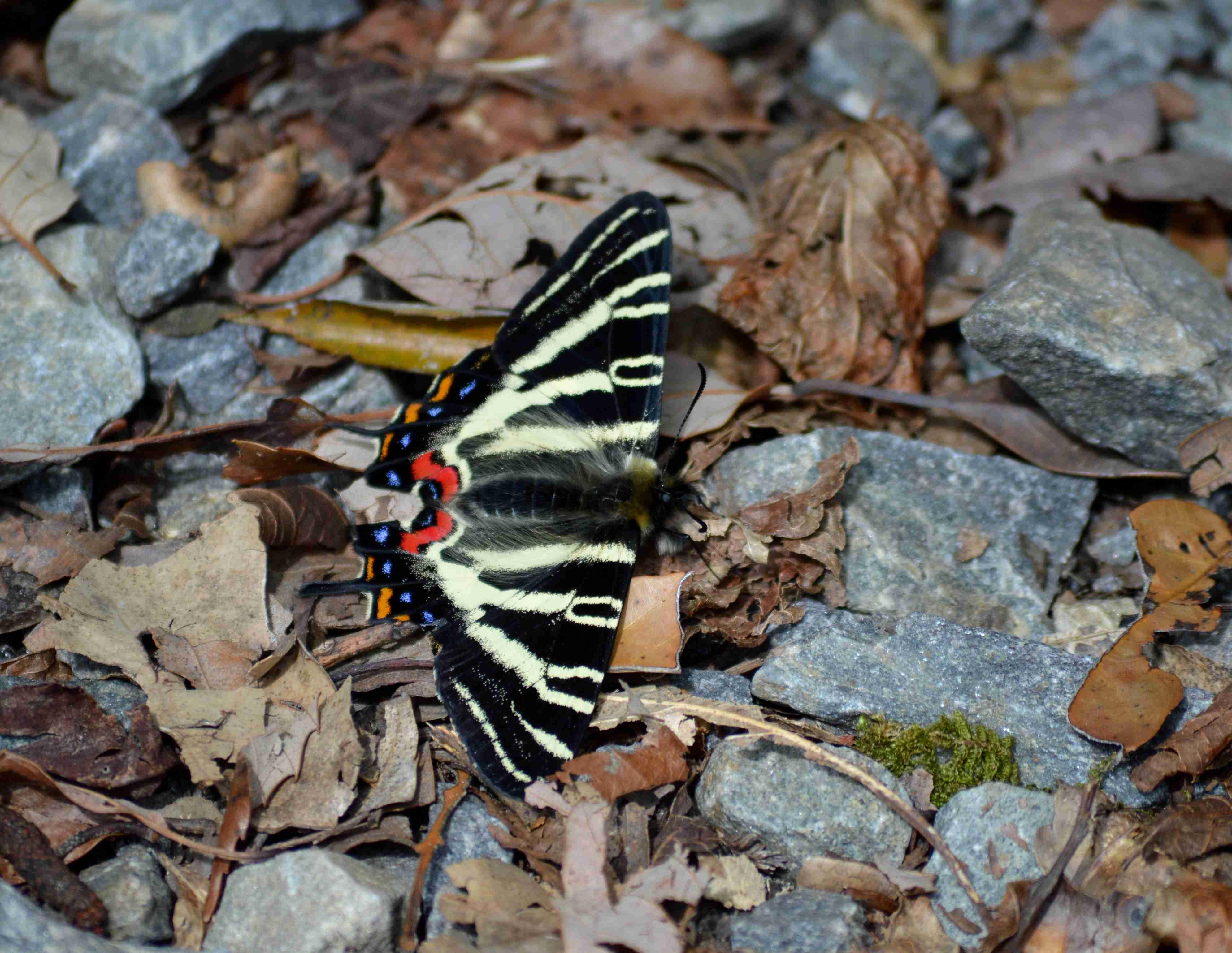 ギフチョウ 4月2日北山湿地にて_d0254540_1491885.jpg