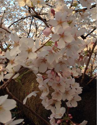 桜の季節になりました_f0140343_1433179.jpg