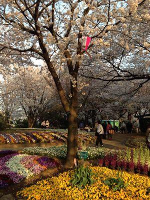 桜の季節になりました_f0140343_1433253.jpg