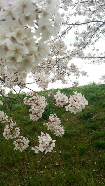 駒岡のサクラ_f0230961_15331646.jpg