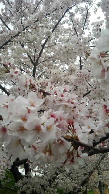 駒岡のサクラ_f0230961_1536112.jpg