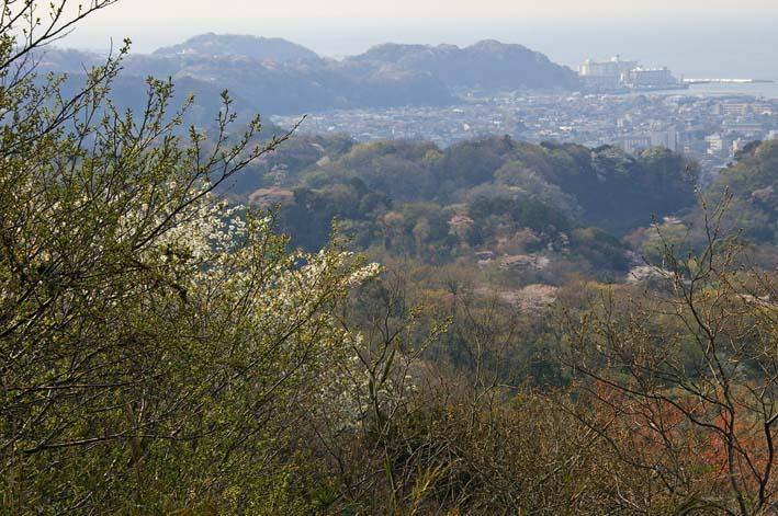 満開のオオシマザクラが4・5「北鎌倉ウォッチング」出迎えへ_c0014967_2204286.jpg