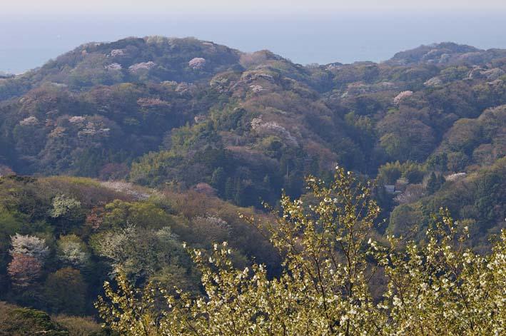 満開のオオシマザクラが4・5「北鎌倉ウォッチング」出迎えへ_c0014967_22144.jpg
