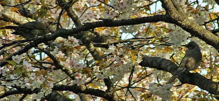 満開のオオシマザクラが4・5「北鎌倉ウォッチング」出迎えへ_c0014967_2214890.jpg