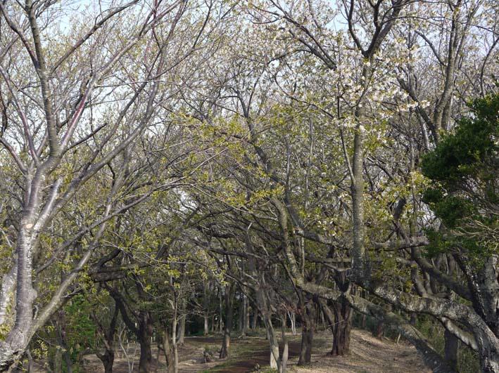 満開のオオシマザクラが4・5「北鎌倉ウォッチング」出迎えへ_c0014967_222572.jpg