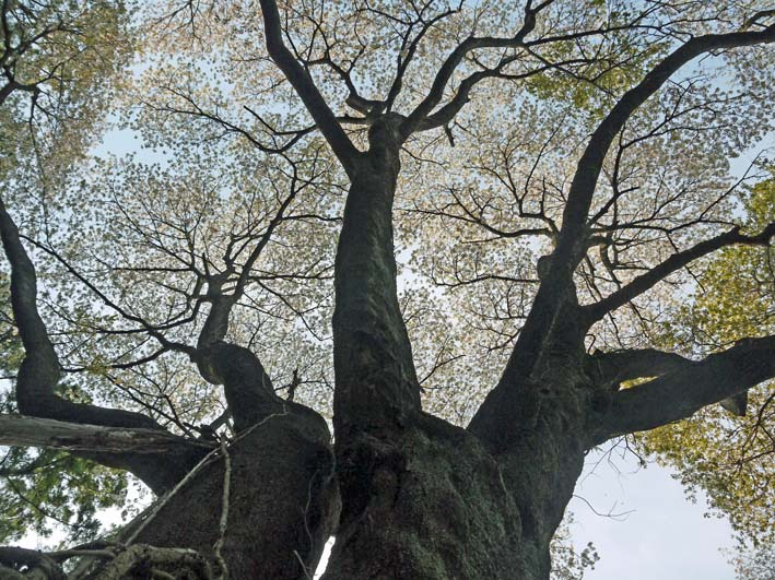 満開のオオシマザクラが4・5「北鎌倉ウォッチング」出迎えへ_c0014967_222840.jpg