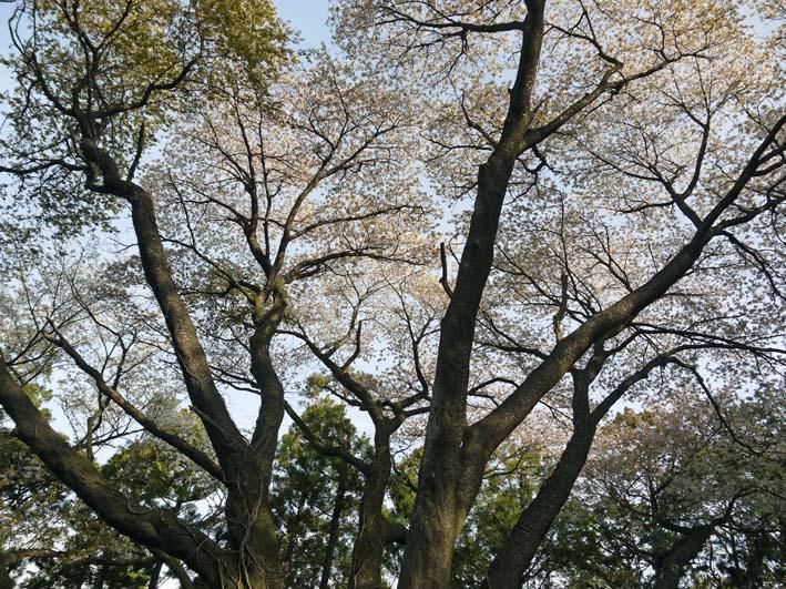 満開のオオシマザクラが4・5「北鎌倉ウォッチング」出迎えへ_c0014967_2253448.jpg